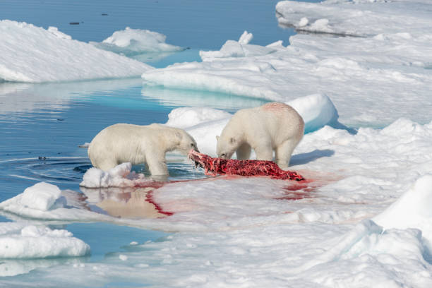 Two wild polar bears eating killed seal on the pack ice north of Spitsbergen Island, Svalbard stock photo