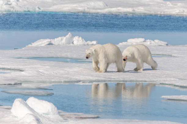 Two wild polar bears going on the pack ice north of Spitsbergen Island, Svalbard stock photo