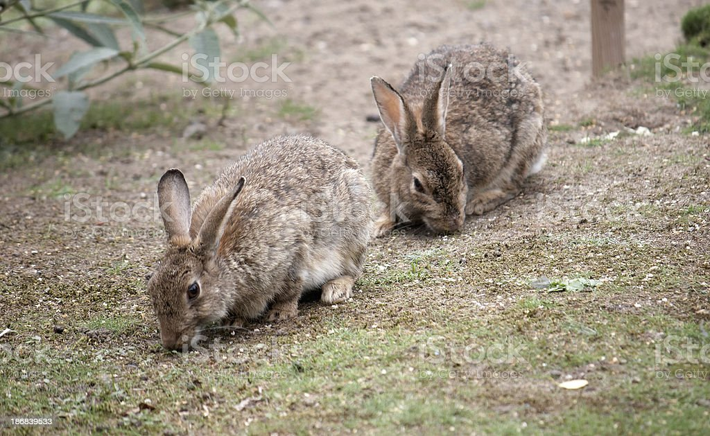 Two Wild Rabbits Eating Grass Stock Photo - Download Image Now - iStock