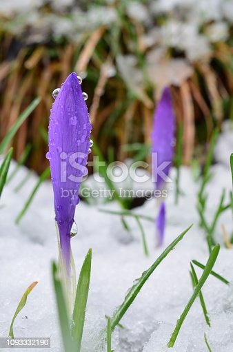 639394370 istock photo Two wild Saffron flowers 1093332190