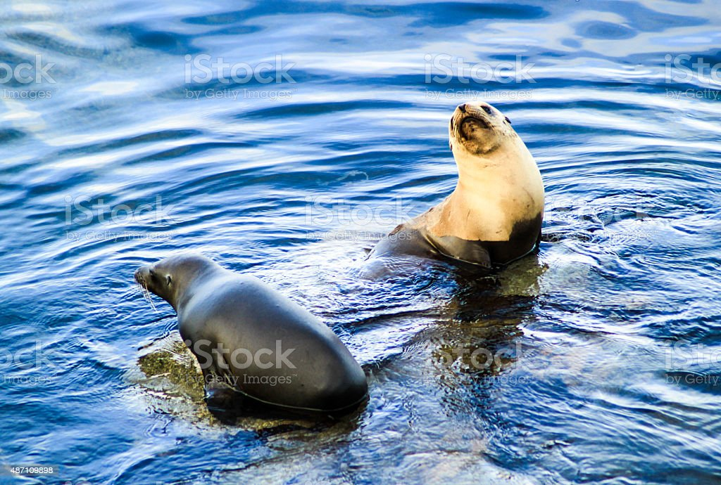 Two wild seals interacting in blue sea water stock photo