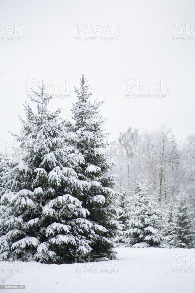 Zwei wilde (Tanne) Fichten mit schweren Schnee bedeckt – Foto