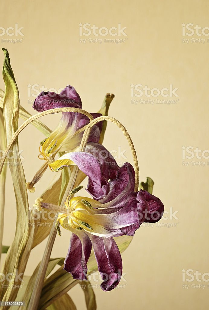 Two wilted tulips stock photo