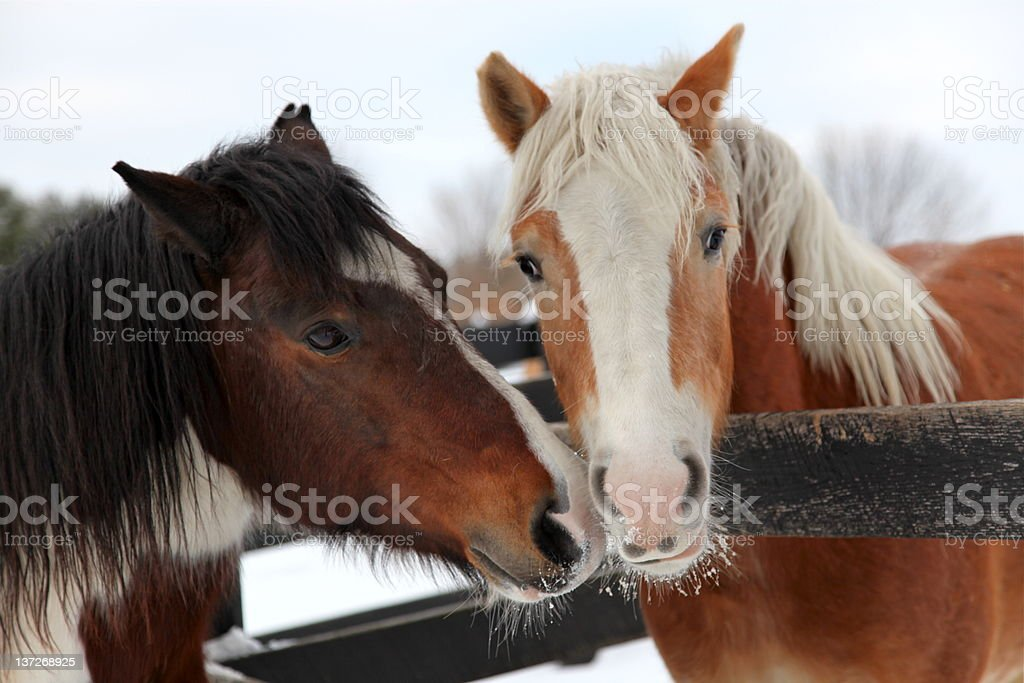 Two winter horses in love royalty-free stock photo
