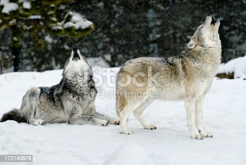 A pair of wolves photographed, both howling with mouths open and snow falling around - a beautiful scene captured with snow covered trees surrounding the pair. Photographed in the winter their coats are full and this landscaped positioned image provides an excellent example of a classic wolf behavior posture.