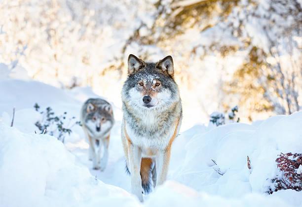 two wolves in cold winter forest - varg bildbanksfoton och bilder