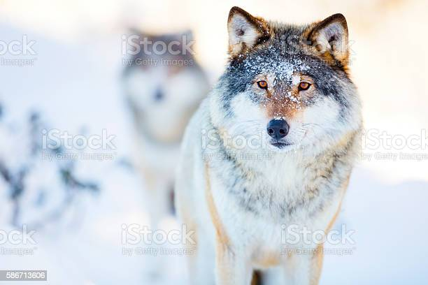 Two wolves in cold winter landscape picture id586713606?b=1&k=6&m=586713606&s=612x612&h=hgavvkvu8rxvvb9gccn6crgeg4g ydadr8dolwswiyc=