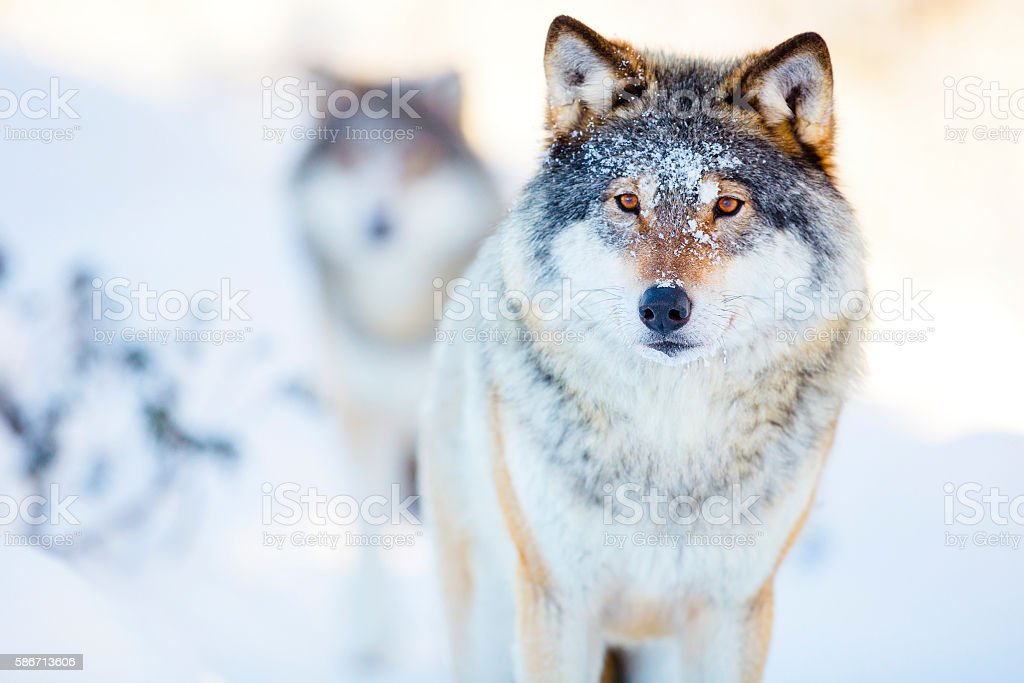 Two wolves in cold winter landscape stock photo