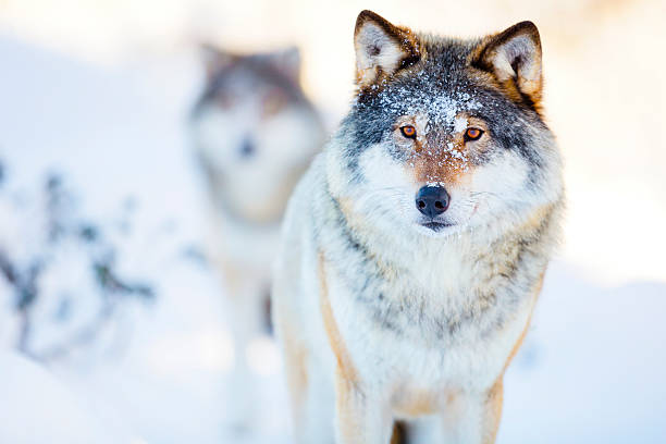 Two wolves in cold winter landscape - foto de stock