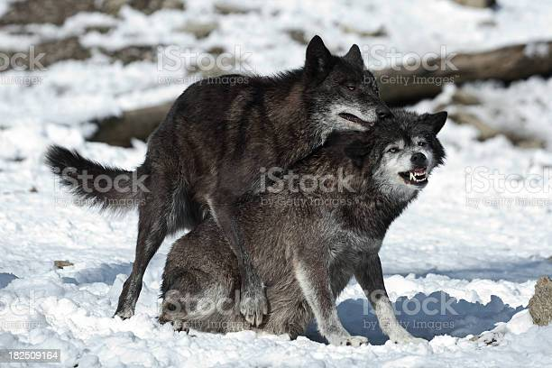 Free Dog Sex Images, Pictures, And Royalty-Free Stock Photos - Freeimagescom-1194