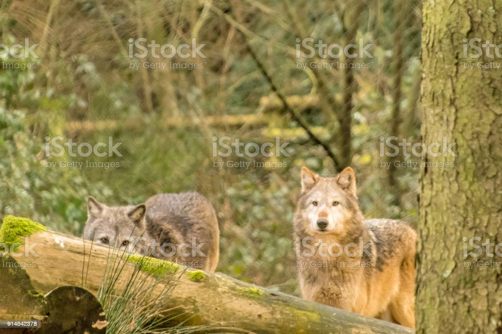 Two wolves looking over a tree trunk in a wood stock photo