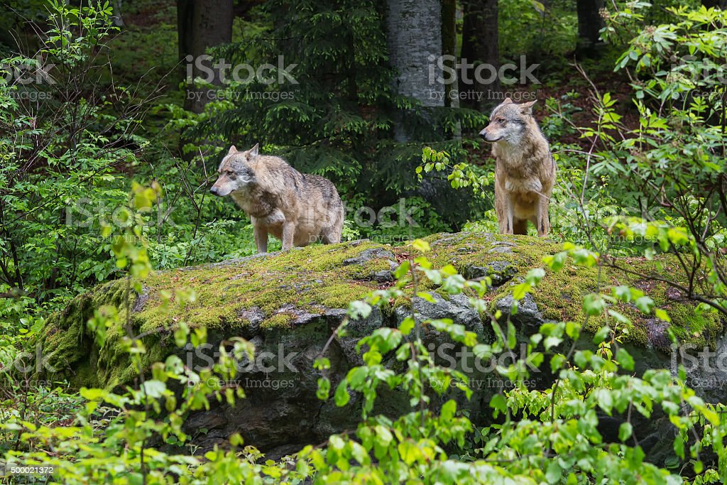 Two wolves on a rock stock photo