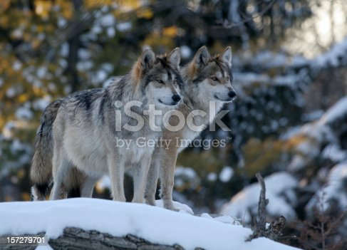 istock Two Wolves 157279701