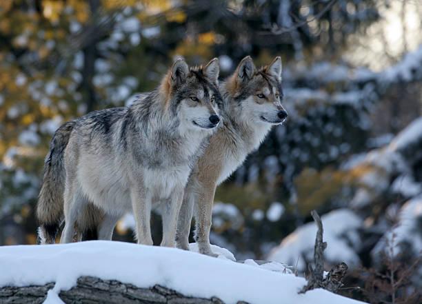 two wolves - varg bildbanksfoton och bilder