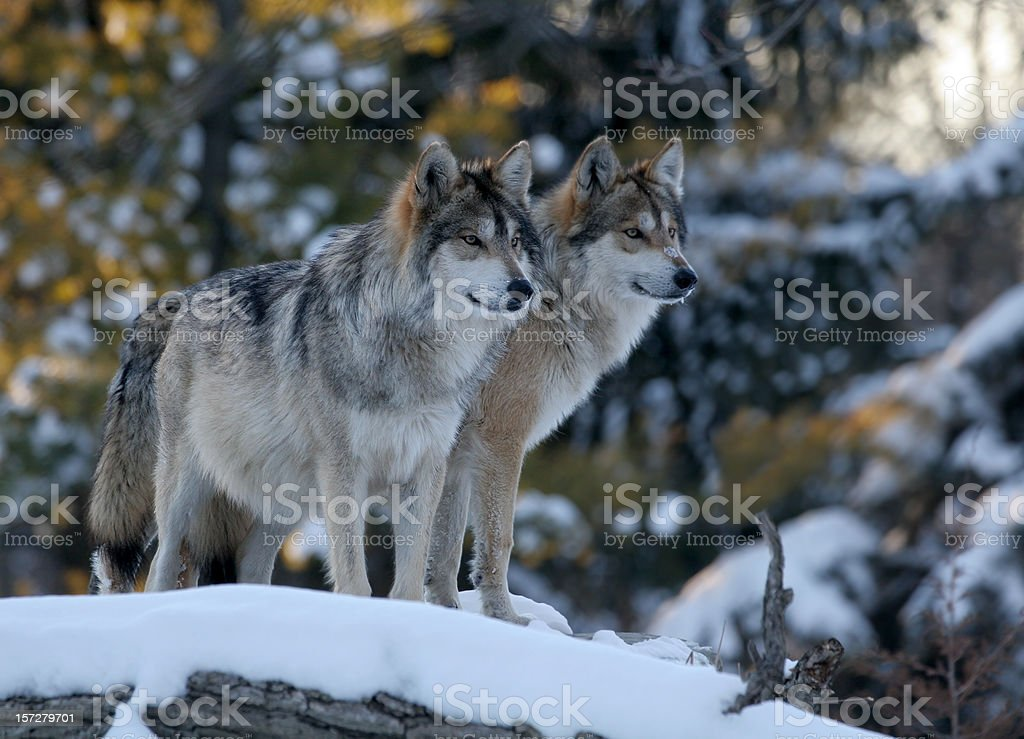 Two Wolves stock photo