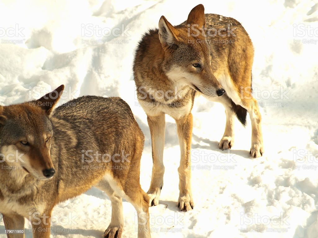two wolves royalty-free stock photo