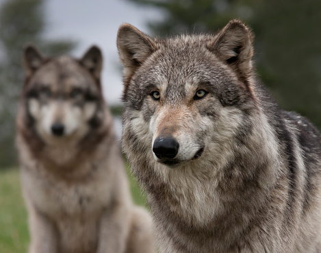 istock Two Wolves 543996346