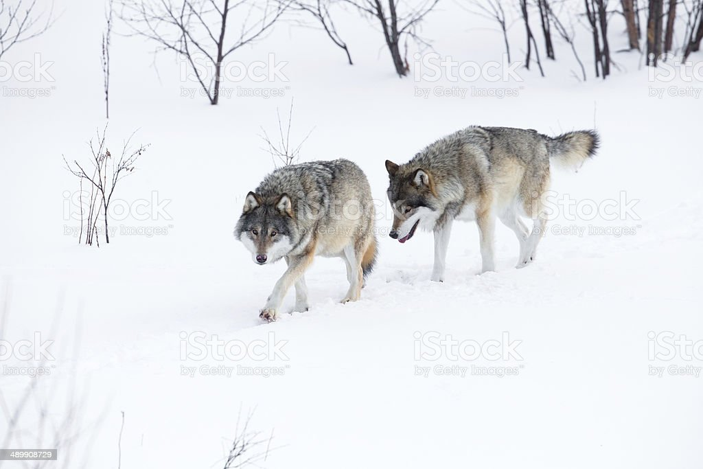 Two wolves walking in the snow stock photo