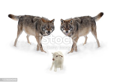 Two wolves with a smile and lambs isolated on a white background.