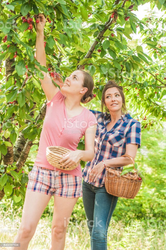 Two Woman Harvesting Cherries in their Orchard stock photo