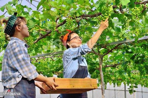Two young woman picking white grape at vineyard garden.