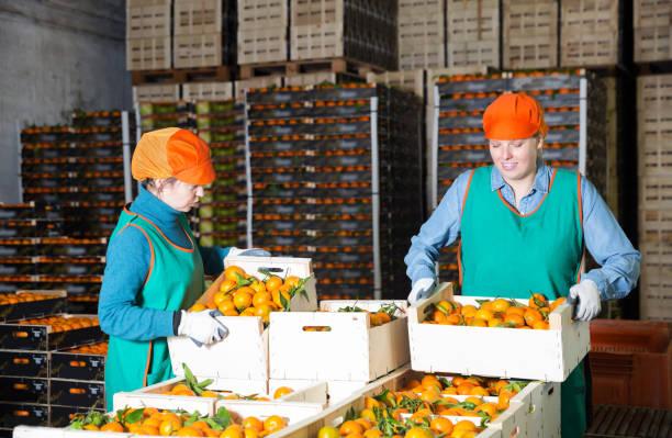 twee vrouwen warehouse werknemers de voorbereiding van mandarijnen voor levering op de markt - warehouse worker stockfoto's en -beelden