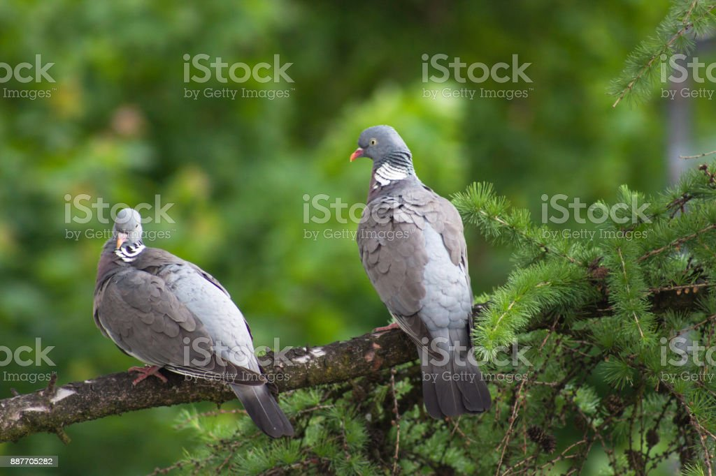 Two wood pigeons sitting on a branch in a Lark Tree stock photo