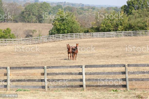 Photo of Two yearlings in a dry pasture.