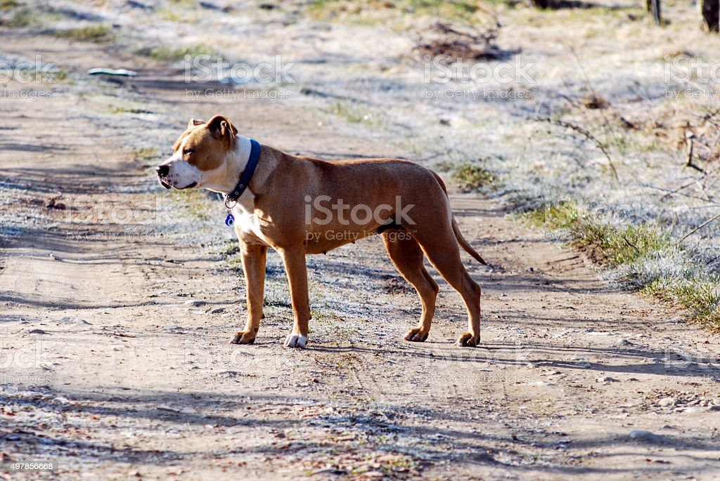 Two years old  female amstaff stock photo