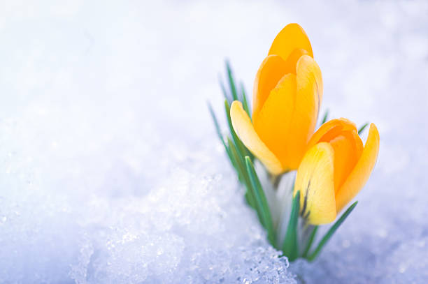 deux fleurs de crocus jaune dans la neige - crocus photos et images de collection