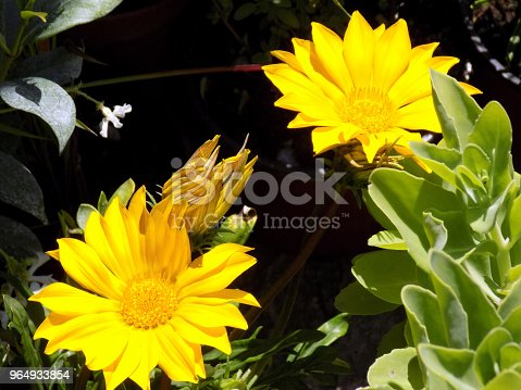 istock Two yellow Daisies flowers in the flower bad 964933854