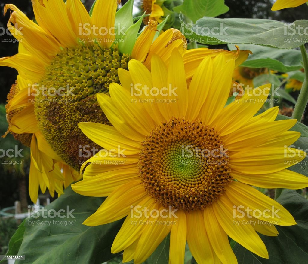Two Yellow Daisies stock photo