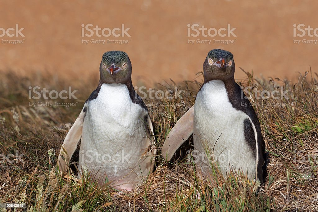Two Yellow Eyed Penguins looking straight into the camera stock photo