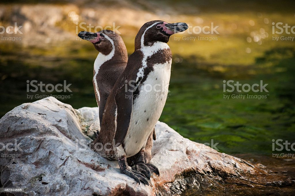 Two Yellow Eyed Penguins standing on the rock stock photo