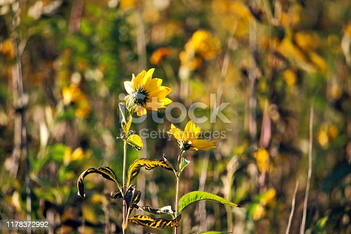 istock Two yellow flowers in autumn 1178372992