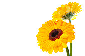 istock Two yellow flowers isolated on left side of picture 112273949