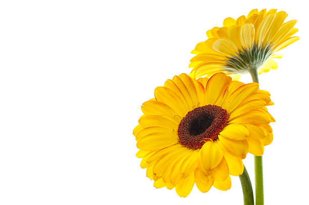 Two yellow flowers isolated on left side of picture yellow flowers on a white background  plant stem stock pictures, royalty-free photos & images