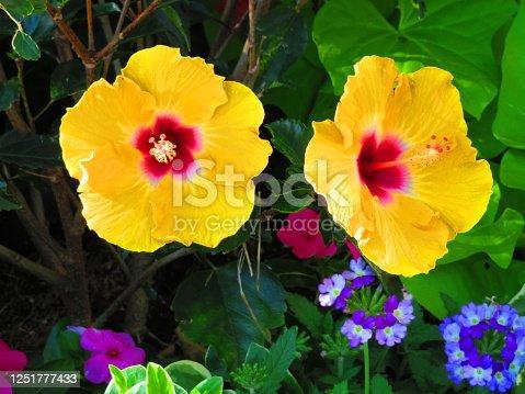 Beautiful yellow hibiscus flowers with purple flowers below