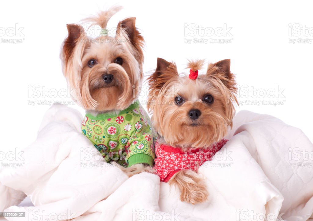 Two Yorkies In Pajamas Stock Photo More Pictures Of Animal Istock