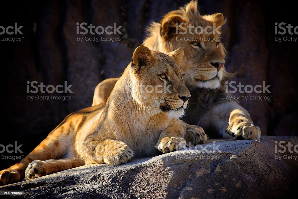 Two Young African Lions stock photo