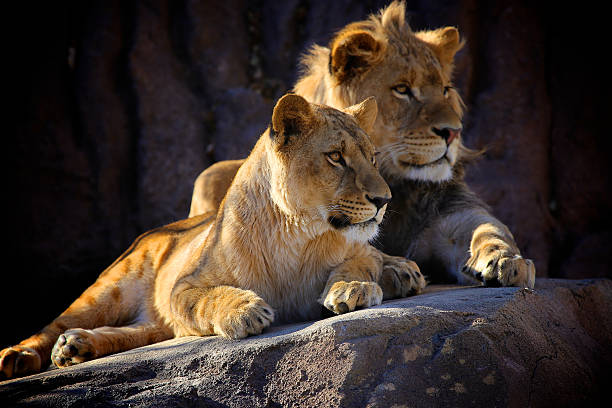 Two Young African Lions Two young African Lions sit next to each other on a rock. kruger national park stock pictures, royalty-free photos & images