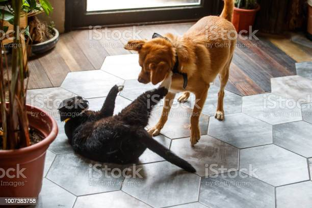 Two young animals play on the floor picture id1007383758?b=1&k=6&m=1007383758&s=612x612&h=96l7ncy9a e0vbm1nwjjby8q34zjj0wcpfsezrm3jos=