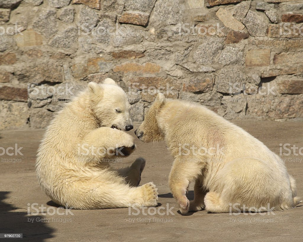 Two young bears royalty-free stock photo
