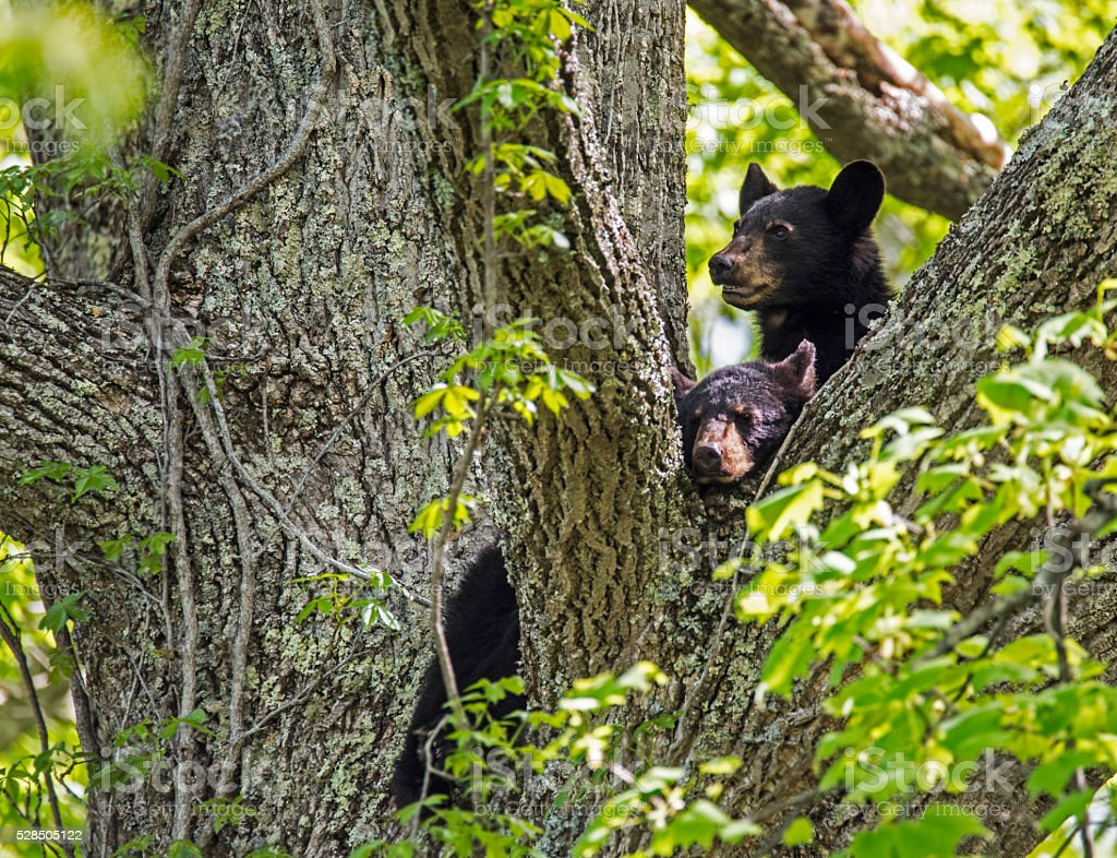 Two young Black Bears resting in a tree. stock photo