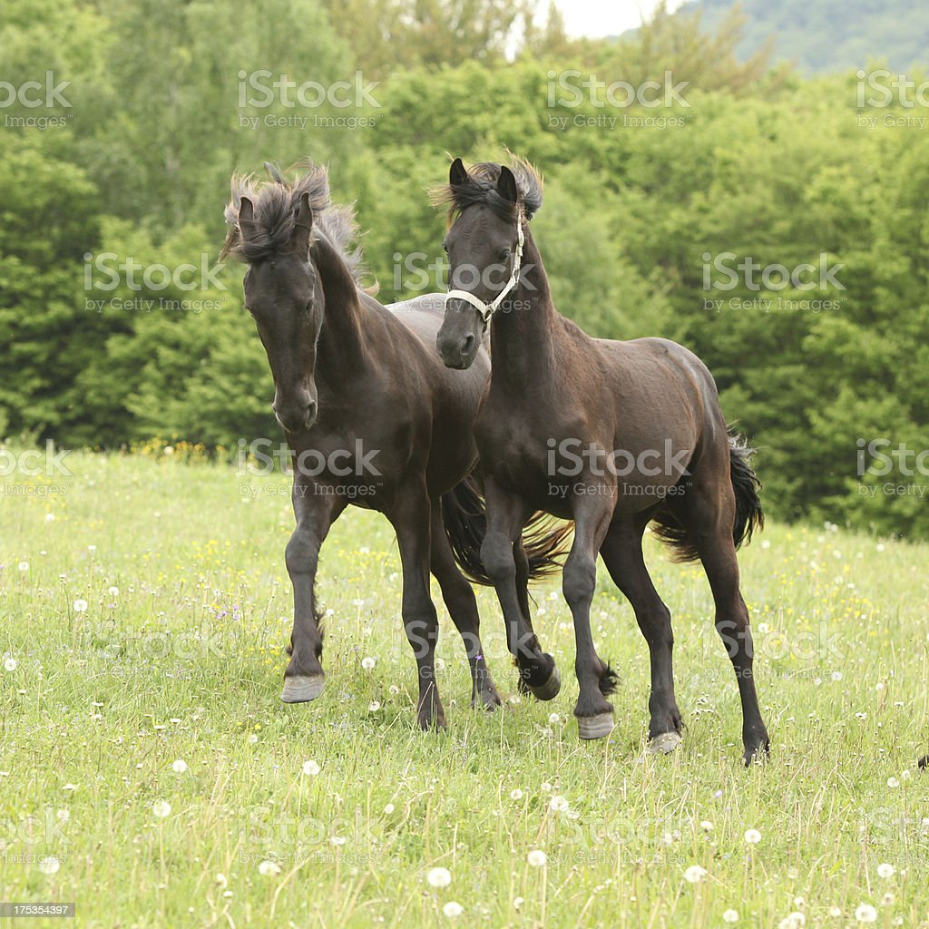 Two young black horses running in nature royalty-free stock photo