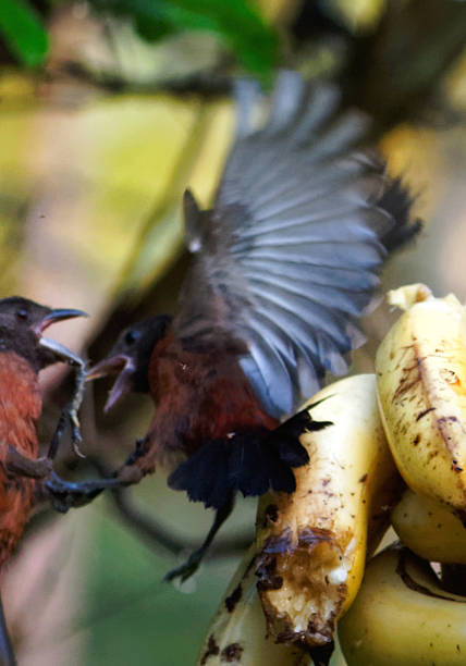 Two young Brazilian Tanagers fighting in mid-air. stock photo