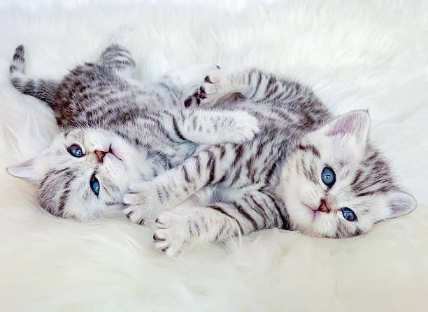 Two young british shorthair silver tabby cats lying playing toge picture id499397842?b=1&k=6&m=499397842&s=612x612&w=0&h=8h4nzppyvn2cj1roawy0jd0qfv3pc1x4xwvrzw w8ee=