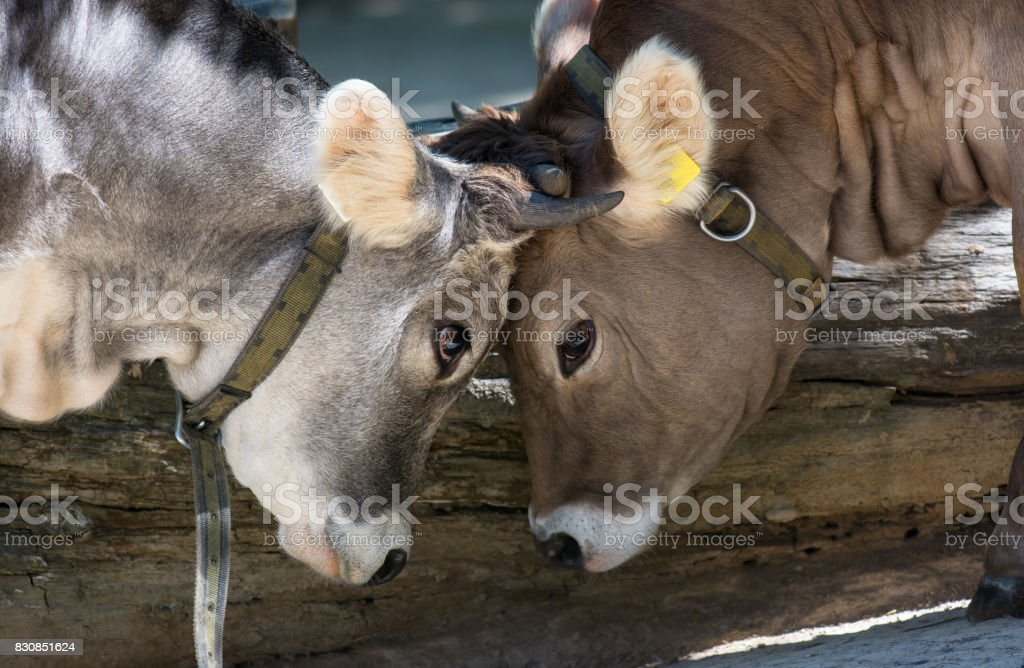 Two Young Bulls Fighting For Training stock photo