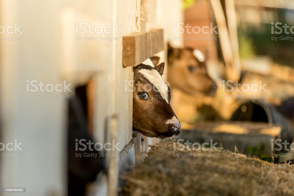 Two Young Calfs in a Pen on a Milk Farm stock photo