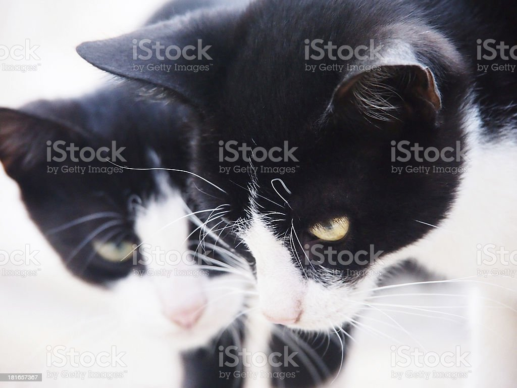 two young cats, black and white, close-up stock photo